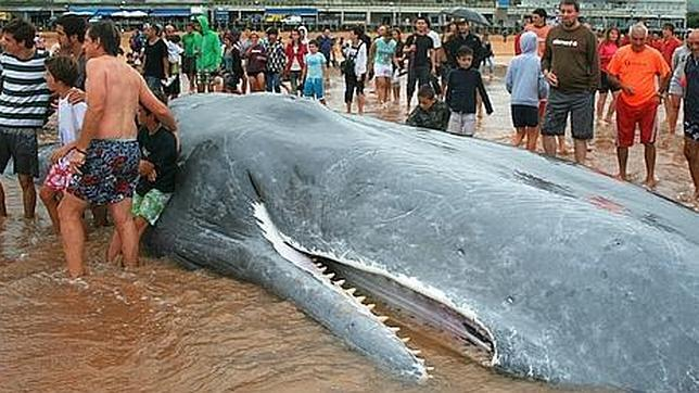 Large sperm whale beaches and dies in spain the ocean update madrid a 50 foot 15 meter sperm whale died friday after washing up on a beach in a resort in northern spain and it was so big that a publicscrutiny Image collections