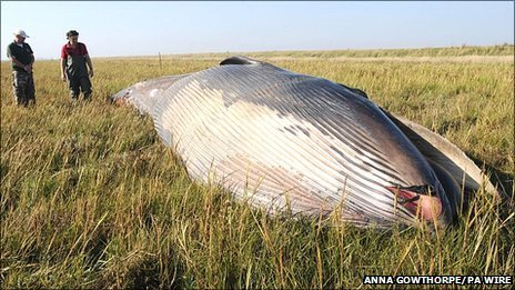 Dead Humber Estuary whale was 'rare' species (UK) | The ...