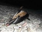 Common-Dolphin-Stranding-Achill-Island