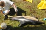 Scientists carried out post mortem examinations on dolphin carcasses which were found in a Cornish creek