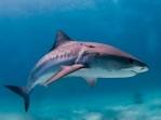 Tiger sharks (pictured) and bull sharks—45 of each species—are being culled off Reunion Island. Photo via Wikipedia