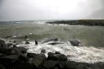 whales_rif_stefan_ingvar_gudmundsson_04
