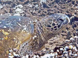 Tumors in Sea Turtles : The Insidious Menace of