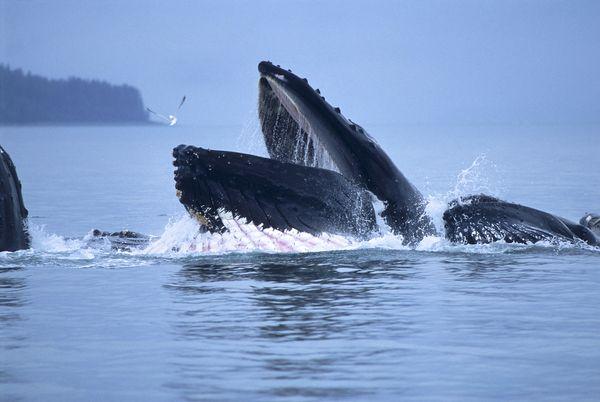 Humpback Whale Crittercam Video Reveals Bottom-Feeding ...