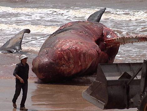 cachalote-encallado-Uruguay