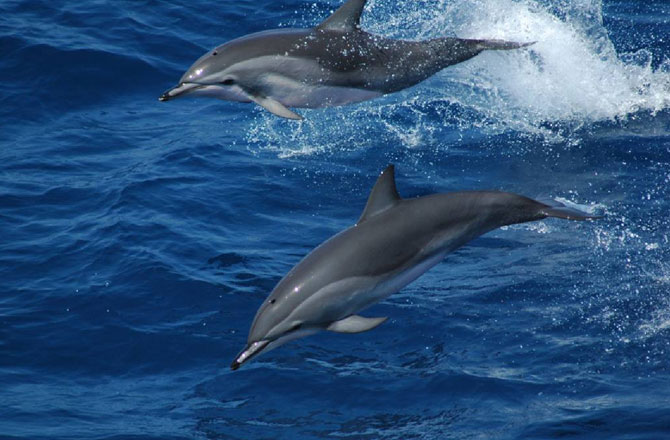Hybrid Dolphin : Neat Curiosity or Bad Omen ? | The ocean update