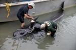 Pod-Pilot-Whales-Stranded