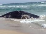 sperm-whale-Boca-Raton
