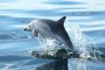 Military activity is causing dolphins and whales to flee Scotland s marine tourism hotspots. Picture : Contributed