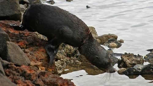The liberated fur seal seal returning to the water. Picture : DPIPWE Source : Supplied