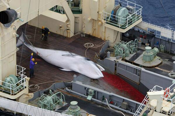 illegal commercial whaling Iceland's bid for membership of the international whaling commission has been put on hold over its refusal to sign a commercial hunting ban.