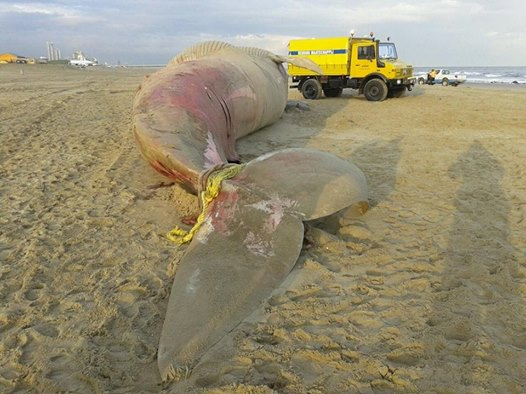 Dead whale died suddenly (Netherlands)   The ocean update