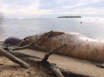beached-whale-Guam2