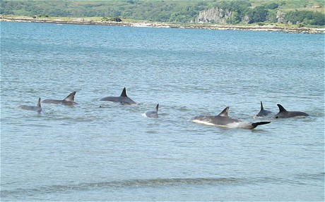 The dolphins during the rescue (Newsteam)