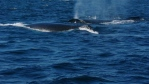 A group of whale watchers now have a whale of a tale. A Pirate's Cove whale watching boat noticed an entangled whale in the Bay of Fundy on Thursday. A disentanglement crew was soon on its way. (Facebook)