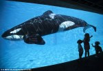 Killer whales have never been violent towards humans in the wild but they have in captivity