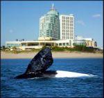 Whales basking along the Uruguayan coast