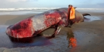 This sperm whale washed up on Ninety Mile Beach, 4km south of Hukatere, on August 13.
