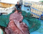 The colossal squid that have been subjected to analysis. (Phot Credit: Museum of New Zealand Te Papa Tongarewa YouTube)