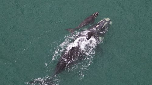 This newborn whale was photographed just days old and has made local history. Born last week just off the coast of Warrnambool near the Great Ocean Road, Victoria, this baby has stunned experts by arriving very late in the season. (Audience Submitted:Chris Farrell)