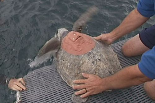 An olive ridley sea turtle is released into the ocean equipped with a satellite tracking device.