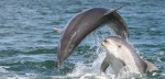 Only recently discovered, the Burrunan dolphin is now in need of urgent conservation action. AMMCF , Author provided
