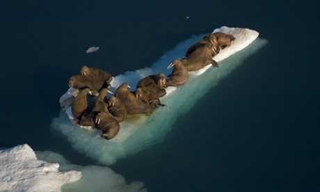 Walruses in the Chukchi sea this time of year are generally females and young who are at greater risk of being trampled. Photograph : Steven Kazlowski/Nature Picture Library
