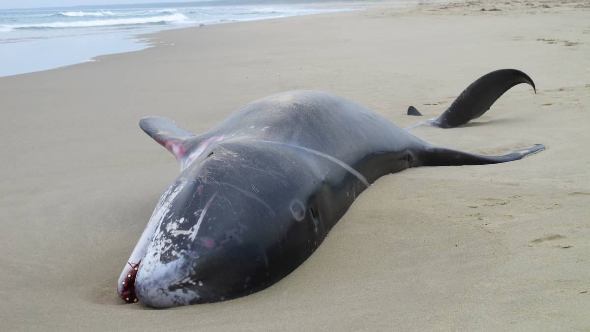 Gerroa Australia  City pictures : Dead dolphin washes up on Gerroa beach Australia | The ocean update