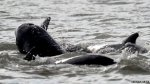 The pilot whales became distressed after an ebb tide resulted in shallower waters off Brightlingsea