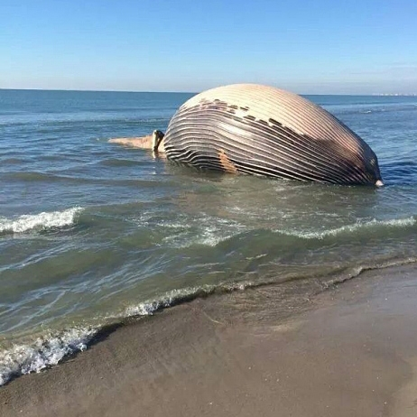 Dead whale on french beach could explode the ocean update - Office du tourisme sainte marie de la mer ...