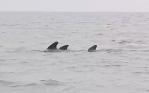 The pod of whales were herded out to sea after being spotted near UK shoresPhoto : Mercury