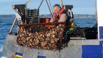 A French fisherman unloads scallops from a net during scallop fishing. (AFP Photo/Fred Tanneau)