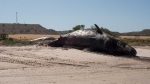 The carcass of one of the seven sperm whales which became stranded on a beach at Ardrossan.