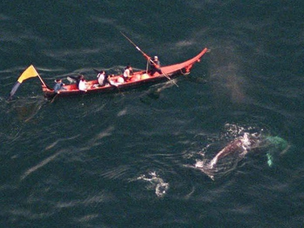 whale hunting by the makah tribe essay Free essay: this treaty's importance to the makahs is due, to what they feel as, their need for their culture to be able to hunt they believe that without.