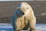 Polar bear on the north slope of Alaska.Eric Regehr, U.S. Fish and Wildlife Service