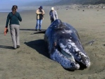 A gray whale carcass was discovered on April 20 on Wickaninnish beach near Ucluelet, B.C. (CHEK News)