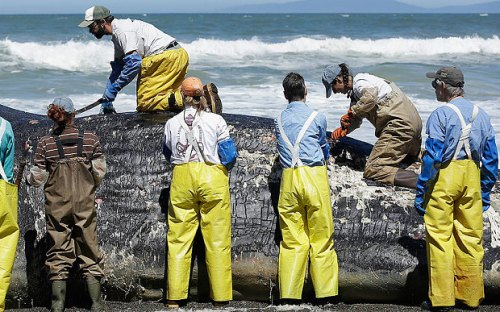 Researchers with the Marine Mammal Stranding Network cut open the body of the whale on the beach (AP)