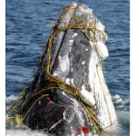 Entrangled whale (photo : Associated Press)