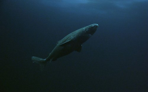 A Greenland shark (PHOTO : BBC)