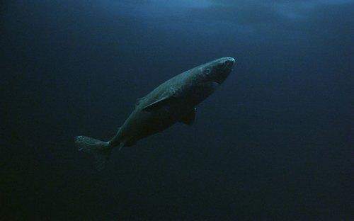 A Greenland shark (PHOTO : BBC)