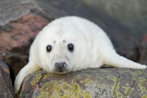 Atlantic Grey Seal Pup on a rocky shore in Scotland