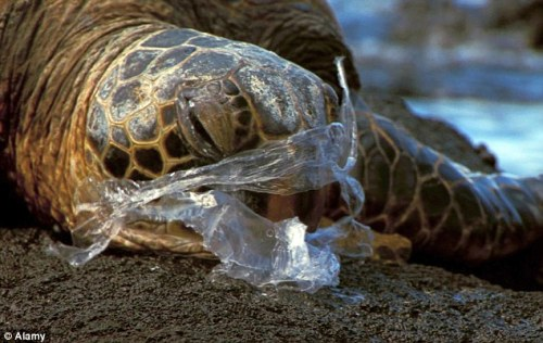 Threat : Recent studies show that plastic pollution hits 395 marine species, including puffins, seals, whales and every type of sea turtle