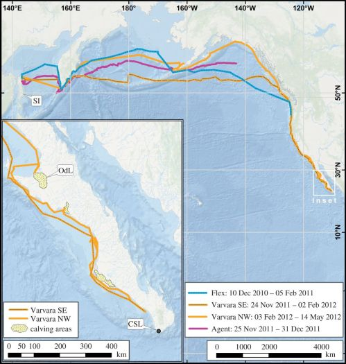 "This map tracks the journeys of Vavara, Agent and Flex, three gray whales that swam from Russia to North America. Credit : Mate B.R. et al, Biology Letters. ""Critically endangered western gray whales migrate to the eastern North Pacific."" (2015)"