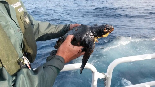 oiled loggerhead sea turtle found on the place (and now in rehab.), on April 16th