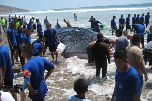 Rescuers keep the stranded whale shark wet. Tanya Layman