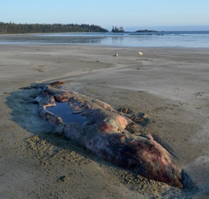 A dead whale, believed to be a Cuvier's beaked whale, has washed up on a beach near Ahouset, B.C. (Marcie Callewaert)