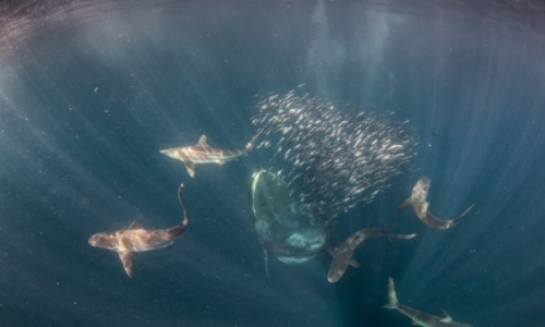 A 40-tonne Bryde's whale rises from the depths to engulf a ball of sardines. Photograph: Rainer Schimpf/Barcroft Media