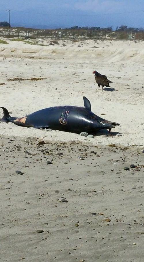 Oiled dolphin in Oxnard Shores Beach. Photo Rachel Douglas