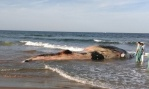 Guardia Civil agents spotted the whale in shallow waters on Monday morning. Photograph: Guardia Civil