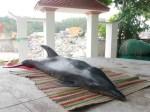 male-dolphin-Vietnam